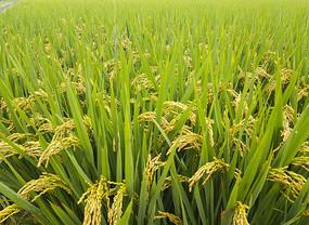 雨中稻田地