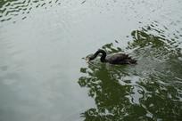 慈湖的黑天鹅