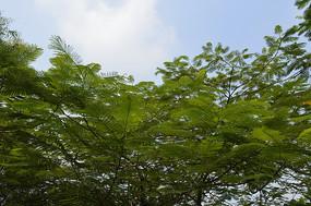 蓝天下的凤凰树