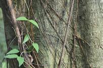 老树干图片