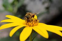 蜜蜂采集花蕾