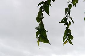 天空下垂下的树木枝叶
