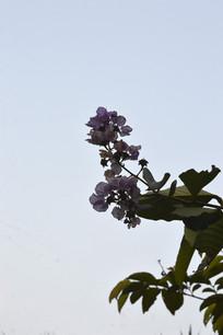 天空下逆光拍摄的紫薇花