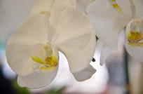 一朵白色蝴蝶兰特写