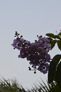 阴天的紫薇花