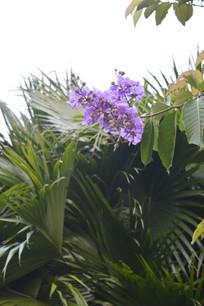 紫薇花与蒲葵