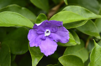 变色茉莉花朵