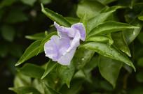 番茉莉花朵