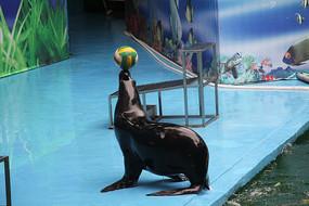 海狮顶球上岸