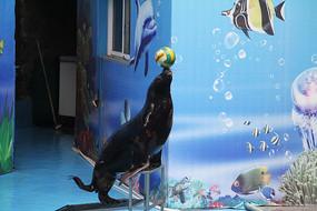 海狮顶球上台阶