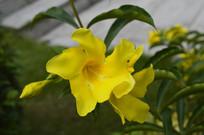 黄莺花图片
