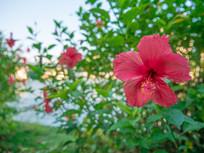 江边的大红花