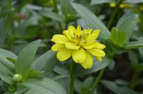 金黄色的百日草
