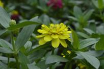 金黄色的百日草花朵