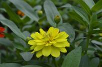 金黄色的百日菊花朵