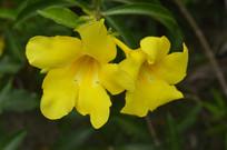 两朵漂亮的大花软枝黄蝉
