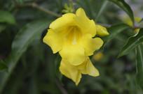 漂亮的大花软枝黄蝉