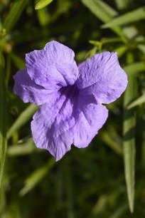 漂亮的紫色芦莉花