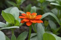 一朵橙红色百日菊