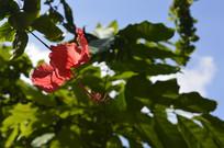 一朵漂亮的扶桑花