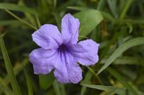 一朵漂亮的紫花芦莉