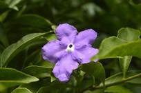 紫色番茉莉