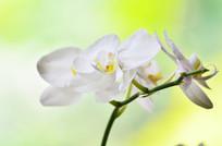 白色蝴蝶兰特写