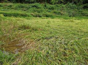 成熟后倒下的水稻
