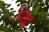 大红花摄影图片
