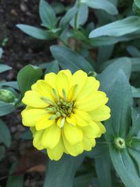 黄花疏花百日菊