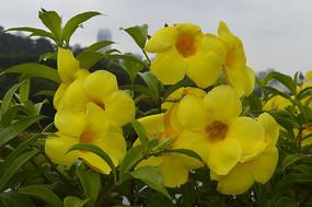 黄兰蝉花丛