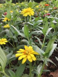 黄色疏花百日菊