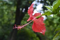 花色艳丽的大红花