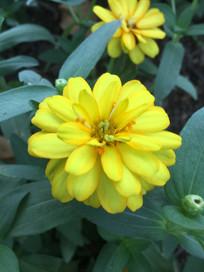 金黄色疏花百日菊