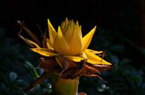 金色木莲花