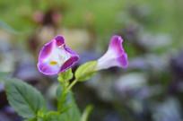 蓝猪耳花朵