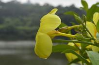 漏斗形黄婵花