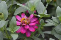 绿叶掩映的百日菊