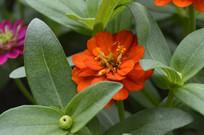 盛开的橙红色百日菊