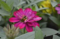 鲜艳的百日菊