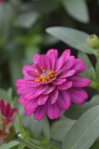 鲜艳的百日菊花朵
