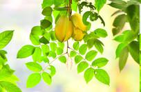 杨桃水果农作物