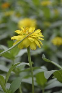 一朵盛开的黄色百日菊