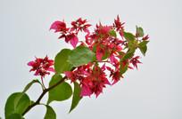 一枝红花花卉图片