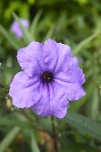 紫色花朵翠芦莉摄影图片
