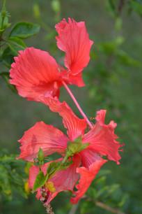 两朵漂亮的扶桑花
