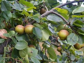 梨树硕果累累