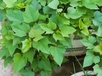 绿色的番薯叶