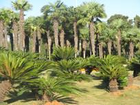 茂密的棕榈树林