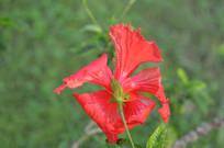 漂亮的扶桑花瓣